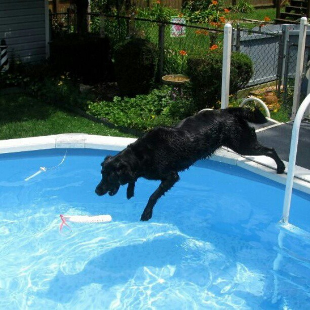 It's a Lab Thing Labrador:  Bell Flops Into The Pool.