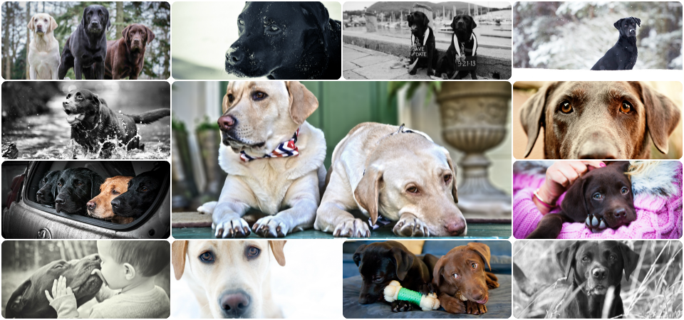 It's a Lab Thing Labrador Showcase Collage