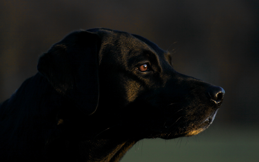 Louie labrador Danny Williams its a lab thing (6)