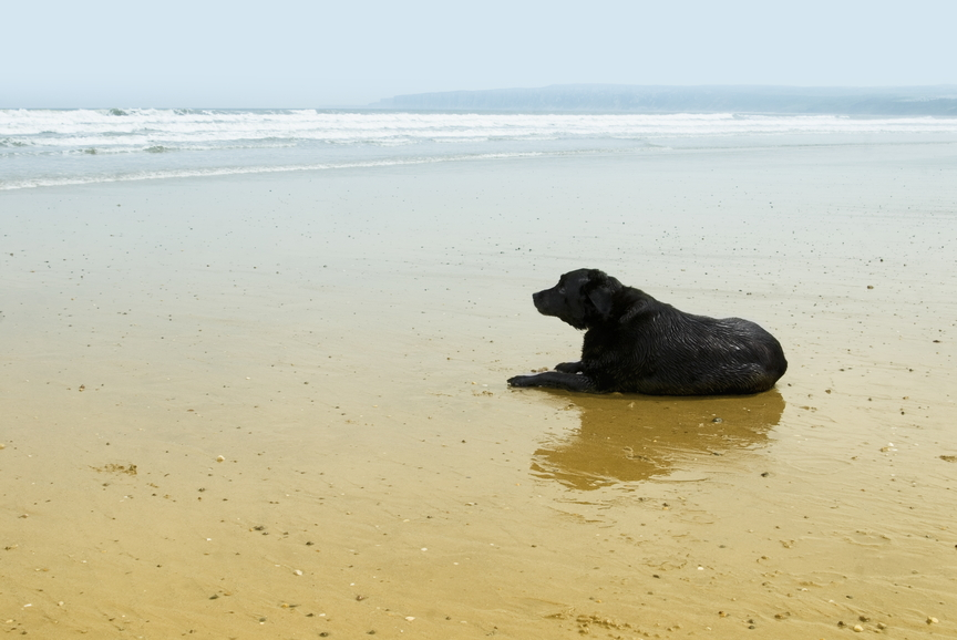 Labrador dog on sand