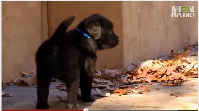 its_a_lab_thing_labrador_puppy_walking