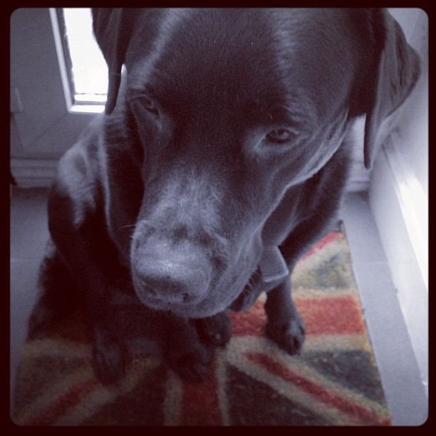 It's a Lab Thing Labrador:  Sat by the back door, waiting for a wee or indeed go the fridge to be opened?!!