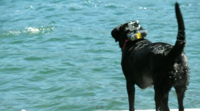 its a lab thing dock diving cam labrador