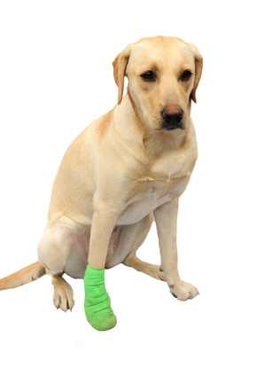 Its a lab thing Arthritus in Labradors