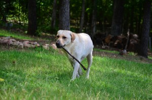 its a lab thing brody saban lake oconee (59)