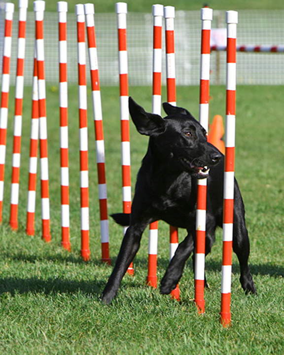 its a lab thing kiersten lloyd labrador agility