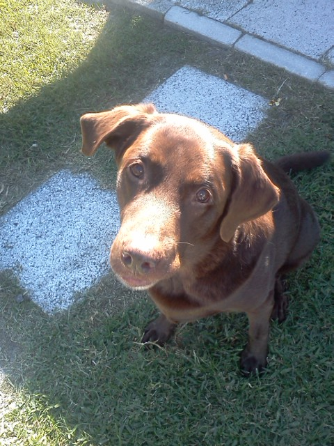its a lab thing reeses seizures labradors