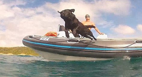 its_a_lab_thing_labrador_swimming_with_dolphins