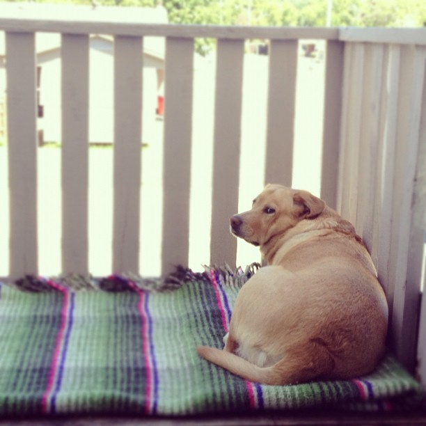 For the Love of Labradors (11)