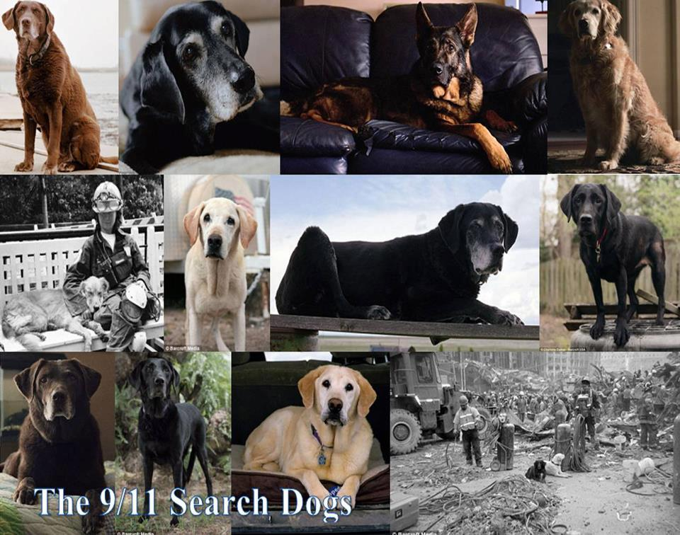 9-11dog-its a lab thing labrador