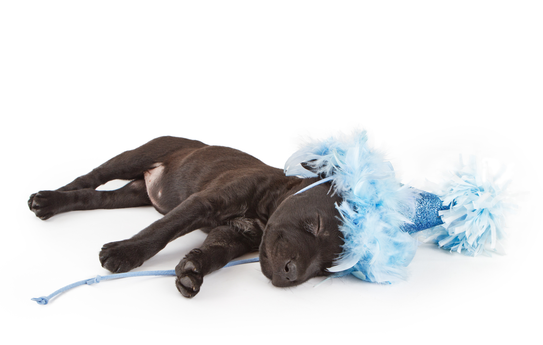 Sleeping puppy in a party hat Its a Lab Thing