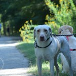 Its a Lab Thing Foster Walk Labrador Friends of the South (83)