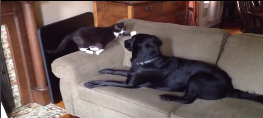 Its_a_Lab_Thing_Cat_Slap_Fever_Black_Labrador