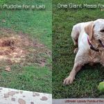 A Labradors Hole Lot of Fun
