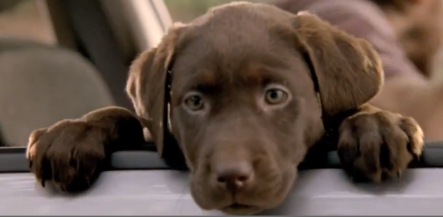 Its_a_Lab_Thing_Subaru_Commercial_Chocolate_Labrador