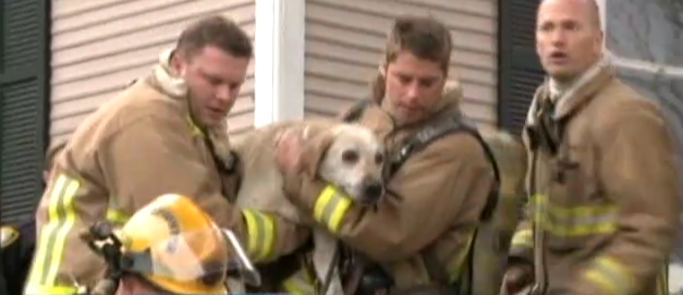 Its_a_Lab_Thing_Yellow_Labrador_Coda_saved_by_Firefighters