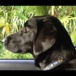 Its a Lab Thing Fall Monday Yellow Chocolate Black Labradors (9)