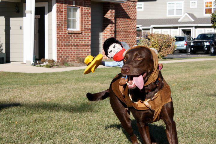 its a lab thing chocolate halloween labrador