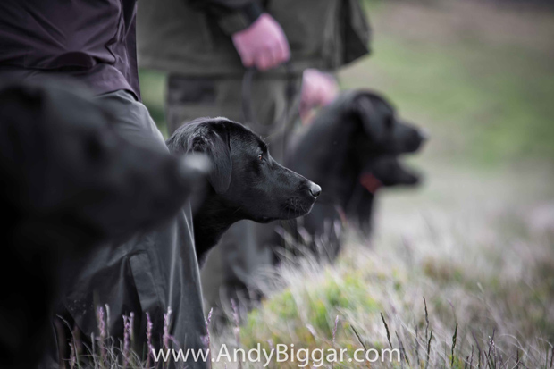 Its-a-Lab-Thing-Andy-Biggar-Labradors-003