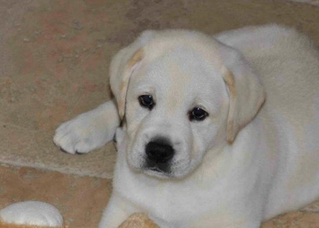 tugger yellow lab its a lab thing labrador