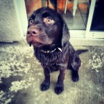 His-first-swim-@-4-months.-chocolatelabs-labs-labsofinstagram-labradorsofinstagram-dogsofinstagram-d