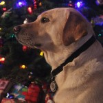 Honey-christmas-christmastree-christmaslights-ilovemydog-itsalabthing-yellowlab-pets