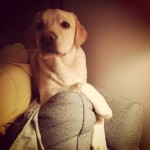 I-dont-always-climb-couches-but-when-I-do..-claude-itsalabthing-labsofinstagram-yellowlab-puppy-dog