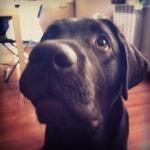 lab-labrador-lablovers-laboftheday-ilovemylab-instadog-instalab-instagram-itsalabthing-retriver-choc