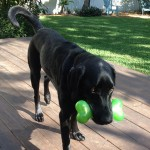 And-my-green-squeaky-bone-ilovemydog-laboftheday-blacklab-blacklabs-labbylove-itsalabthing-love4labs