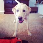 Briggs-and-the-favorite-toy-Snake.-briggs-playtime-lab-labpuppy-labstagram-laboftheday-itsalabthing-
