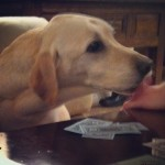 Can-I-pay-rent-in-licks-labs-labstagram-labradorable-labsofinstagram-labradorretriever-yellowlab-its