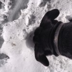 Crazy-dog-burying-her-face-in-the-snow.-snow-mtlemmon-mountlemmon-tucson-arizona-kouki-laboftheday-i