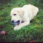 Having-a-chew-fest-pup-puppy-baby-dog-gold-goldlab-goldenlabrador-goldenlab-lab-labrador-instadog-in1