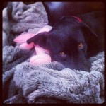 Her-luvie-is-definitely-this-blankie...-labradorable-itsalabthing-blacklab-labrightnow