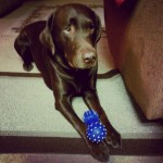 I-stole-the-young-pups-toy-do-I-took-guilty-labsofintagram-chocolab-laboftheday-purebredlabrador-pet