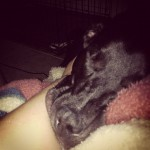 My-lazy-puppy.-That-is-my-arm.-lazypup-laboftheday-itsalabthing-labsofinstagram-puppylove-mutt-kouki