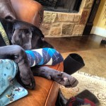 New-Years-nap-time.-itsalabthing-labrador-retriever-instadog-nap