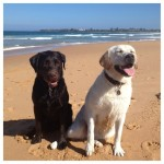 Our-afternoon-walk-on-the-beach-and-swim.-labs-labrador-pups-itsalabthing-love4labs
