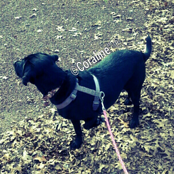 SQUIRREL-love4labs-laboftheday-retrieveroftheday-labradorsofinstagram-labstagram-labradorlovers-blac