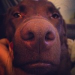 Silly-girl.-chocolatelab-chocolatelabrador-lab-labrador-lablovers-lovablelab-laboftheday-labsofinsta
