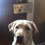 The-sign-says-it-all-yellowlab-dudleylab-lovemylab-itsalabthing