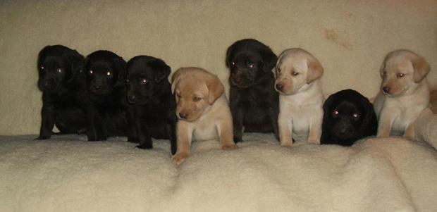 its a lab thing Elizabeth Puppies labrador