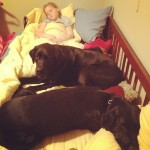 noodle-loves-her-sleeping-buddies-kate-katers-itsalabthing-blacklabs-labs-dogs-puppies-lily-dahlia-t