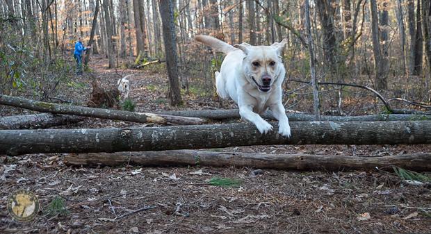 Its a Lab Thing Brody Saban Hiking Labradors (17)