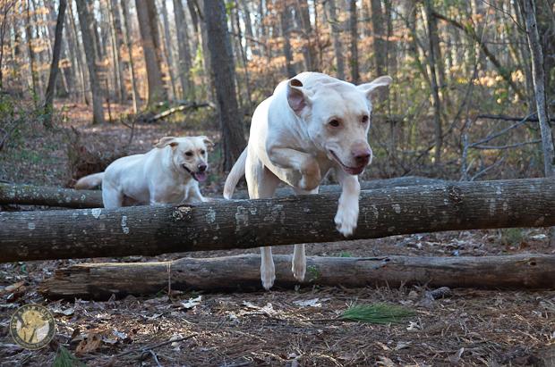 Its a Lab Thing Brody Saban Hiking Labradors (4)