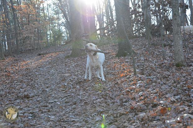 Its a Lab Thing Brody Saban Hiking Labradors (5)