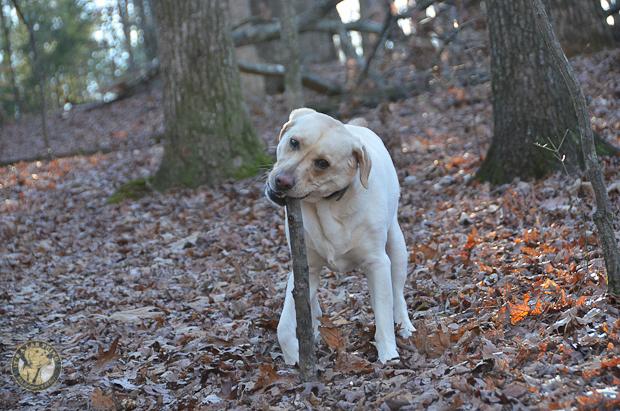 Its a Lab Thing Brody Saban Hiking Labradors (6)