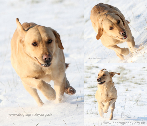 Its-a-Lab-Thing-Labrador-Dogtography-showcase-002