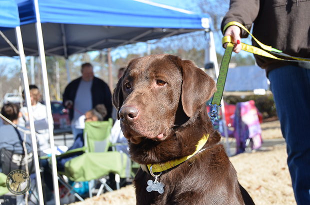 Its a Lab Thing Labrador Friends of the South Adoption Event 22913 -40