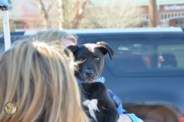 Its a Lab Thing Labrador Friends of the South Adoption Event 22913 -99